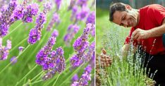 Få mer lavendel utan att ta sticklingar – testa detta enkla knep! | Land.se Propagation, Cuttings, Land, Mamma, Gardening, Lavender, Plant Cuttings, Lawn And Garden, Urban Homesteading