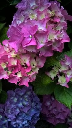 Love hydrangea   photo by Josephine Vogel