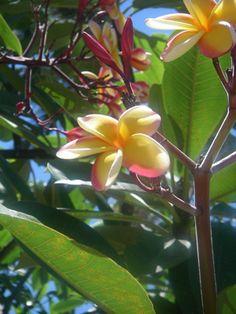 プルメリアはルブラ種とオブツサ種の2種類に大別できます。    オブツサ種の花はルブラ種よりいくぶん肉厚で、色は白が基調。