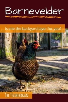Find out if Barnevelder chickens are the right breed for you. See what these chickens look like in Double Laced Partridge, Silver, and other varieties (with pictures and videos of hens, roosters, and chicks), and learn how many eggs they lay. Discover if this beautiful and friendly heritage breed is right for you! Types Of Chickens, Raising Chickens, Barnevelder Chicken, Brown Eggs, Broody, Dark Winter, Chicken Breeds, Backyard Chickens, Chicken Eggs