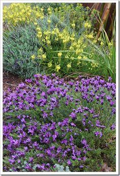 Cape balsam (Bulbine frutescens) and  Spanish lavender (Lavandula stoechas 'Otto Quast')