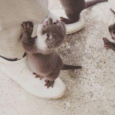 Human has an otter on each foot - February 2017 and hot calendar 2018 september-december, and pets walmart near my location. Baby Otters, Otters Cute, Cute Little Animals, Cute Funny Animals, Cute Creatures, Animals Beautiful, Animals And Pets, Wild Animals, Animal Pictures