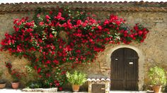 Roses in Provence