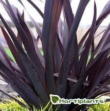 Image result for phormium dark delight