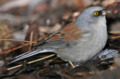 Yellow-eyed Junco Pictures and Photos - Photography - Bird ...