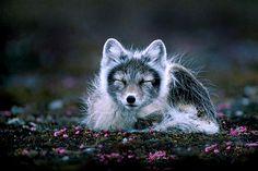 Arctic Fox - amazing picture !!