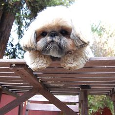 "4,368 Likes, 274 Comments - Dougie the Shih Tzu (@dailydougie) on Instagram: ""Hello down there!"""