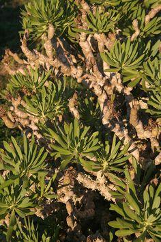 Verol (Kleinia neriifolia) en la montaña de Los Llanos Máguez