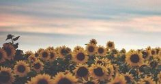 Just Pinned to Skies3: #Quick : RT @niceadventures: Sunflower Sunshine... http://ift.tt/2oFtgBi