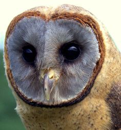 the-cute-creatures:  barn owl (by Digisnapper) Click here for more cute creatures!