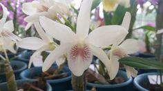 Orquídea...Branca...exp