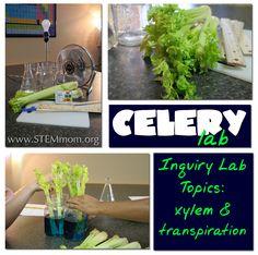 STEM Mom: Celery & Transpiration Lab