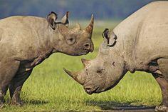In Malawi wird eine ganz besondere Natur-Erfahrung für Urlauber angeboten: Zu Fuß spürt der Reisende Rhinozerosse auf. Und muss auf Überraschungen und Misserfolge gefasst sein. Von Stefan Anker