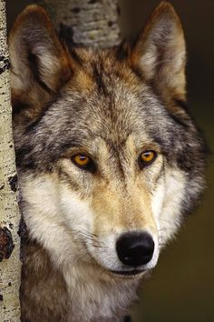 I think my spirit animal would be a wolf. Capable of independence, but knowing I'm better off with my pack.