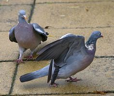 Amorous wood pigeon with unwilling partner