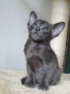 little oriental shorthair cat - OMG look at those feet!  Too cute!