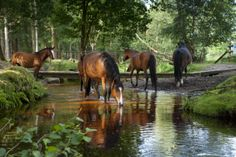 Horses drinking at Dockens Water, New Forest, Hampshire, in July.