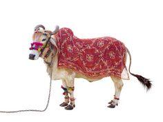 Holy Cows | MASHKULTURE