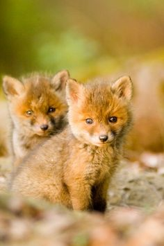 Two red fox whelps in forest -   Erich Kuchling
