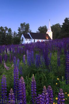 St. Matthew's Church in Sugar Hill, New Hampshire stands above a  field of wildflowers during the annual Fields of Lupine Festival.