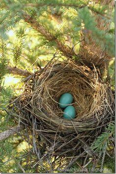 Robin's nest in Manitoba, Canada.