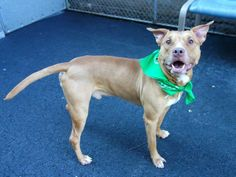 TO BE DESTROYED 01/02/14  Manhattan Center -P MITCH  A0987730 brown & white am pit mix 3 YRS  SEIZED12/19/13 Shy at first. Once comfortable, Mitch is rather outgoing, obedient, sits and stays on command and for treats that he takes very gently from my hand. He comes right away when called. affectionate dog. Mitch walks very nicely on the leash & is likely house trained. Sweet family dog who deserves the security & care of a cozy home and loving master .