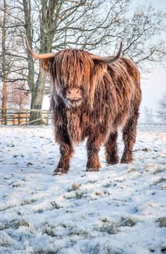 Highland Cattle 21 Fine Art Photography Highland Cow