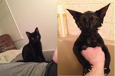 """awwww-cute: """" I meant to bathe our kitten, not summon a demon from hell. I can't believe these are the same species, let alone the same cat """""""