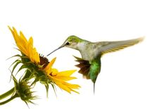 By creating a hummingbird habitat in your yard you will increase your neighborhood biodiversity, improve your organic garden, and enjoy hours of fascination Hummingbird Habitat, Growing Sunflowers, Hummingbird Pictures, Photo Wall Decor, Ruby Throated Hummingbird, Hummingbird Tattoo, Tiny Bird, Free Art Prints, White Stock Image