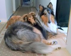 Rough collies - Blue merle and mahogany able .my two boys Finny and Loki Magoo! Collie Puppies, Collie Dog, Dogs And Puppies, Doggies, Embrace Pet Insurance, Shetland Sheepdog Puppies, Dog List, Herding Dogs, Rough Collie