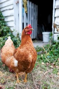 Backyard Chicken - Chickens make for entertaining and easily cared-for pets, and as a bonus,they lay delicious, nutritious eggs.  And while it's true that chickens can't live in an apartment, you don't need acres of land to provide eggs for yourself.