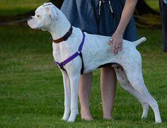 How+to+Train+a+Boxer+Dog+--+via+wikiHow.com
