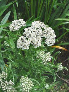 Achillea millefolium (common yarrow): Go Botany Colorful Flowers, White Flowers, Yarrow Plant, Achillea Millefolium, Plant Identification, Types Of Flowers, Native Plants, Nature Pictures, Botany