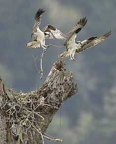 Week in wildlife: Osprey making a nest, Roseburg, Oregon, America - 09 Apr 2012