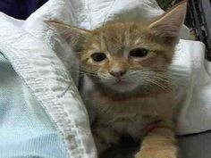TO BE DESTROYED 11/5/14 ** BABY ALERT! ONLY 10 WEEKS OLD! Staten Island Center * Abandoned kittens!! Litter: A1019108,110, 111, 113 *   My name is KANGO. My Animal ID # is A1019108. I am a male org tabby and white domestic sh mix. The shelter thinks I am about 10 WEEKS old.  I came in the shelter as a STRAY on 10/29/2014 from NY 10314, ABANDON.  Group/Litter #K14-200190.
