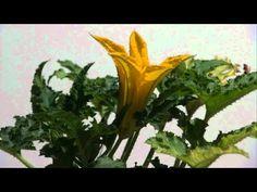 Time lapse - Fiore di zucchina