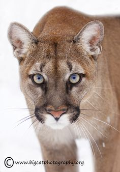 """magicalnaturetour:  """"The stare….or the glare."""" by bigcatphotos UK"""