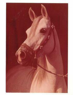 Schöne alte Pferdepostkarte l Araber Schimmelstute Harmonija Sehr guter Zustand! | eBay