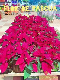 Flores de Pascua para Navidad. Ponsetias rojas. #navidad #flordepascua #agralia #agraliajardin #centrojardineria #asturias Garden Centre, Xmas, Flowers