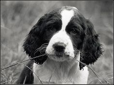 Springer spaniels are too adorable.