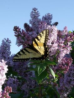 A beautiful butterfly.. Took this yesterday and I am so in love with this picture!