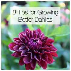 There is nothing difficult about growing dahlias. These flower-producing machines thrive almost everywhere and require little to no attention. Simply plant the tubers in spring and enjoy months of big Cut Flower Garden, Beautiful Flowers Garden, Flower Farm, Flower Gardening, Rare Flowers, Vegetable Gardening, Beautiful Gardens, Container Gardening, Flower Beds