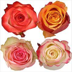 Roses - Assorted Bicolor - 100 Stems - Sam's Club