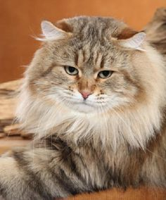 Siberian Cat....love the face.....somewhere between wild and domestic looking.  The eyes give it a gentle appearance