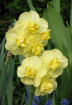 "Yellow Cheerfulness Double Daffodil - 14 Bulbs - Height: 14""+ / April-May:"