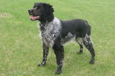 french brittany spaniel - Google Search