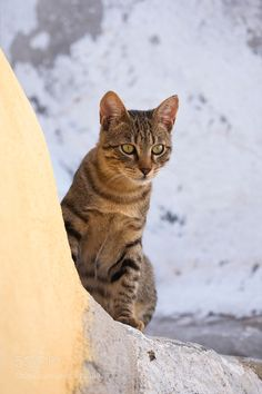 Portrait of Domestic Cat (Felis catus) Oia Santorini Greece by Radius_Images