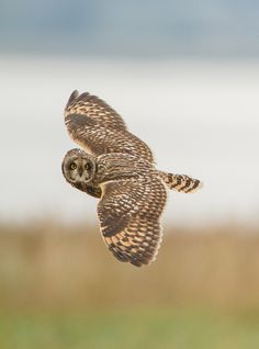 "500px / Photo ""Short eared owl"" by John Starkey"