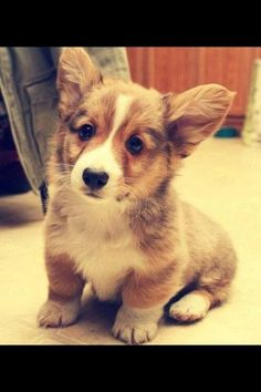Another Corgi puppy picture