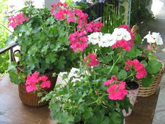Geraniums and Lantana on our covered porch, South Londonderry Vermont